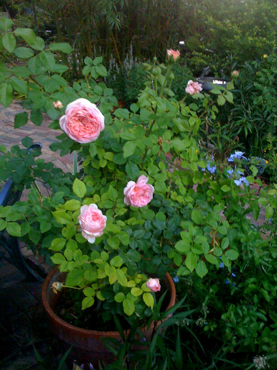 Abraham Darby David Austiin Rose