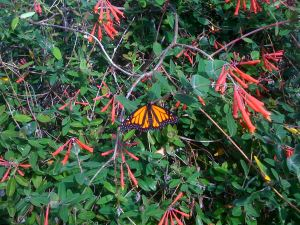 monarch butterfly on coral honeysuckle vine