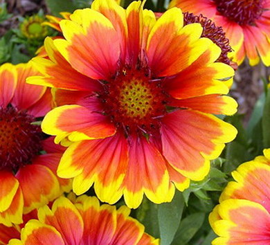 gaillardia_arizona_sun